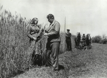 1947, August 19. AA. Berdychiv District, Soviet Ukraine. RUSSIA REAPING HUGE GRAIN HARVEST. ACME Photo (Back)